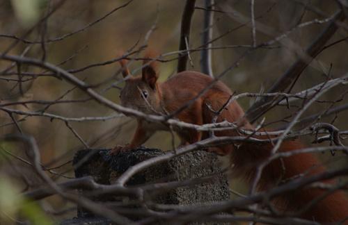 była już tu: http://www.fotosik.pl/pokaz_obrazek/2253dec512812b8d.html ; doczekała w końcu miejsca na moim koncie :) #wiewiórka #zwierzęta