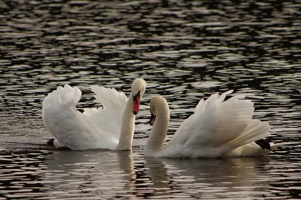 zaproszenie do tańca #łabędzie #ptaki
