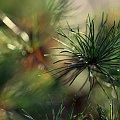 igielkowo #liście #natura #rosliny