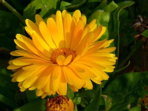 nagietek #kwiaty