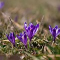Wiosna 2014... #arietiss #flora #krokus #kwiaty #wiosna