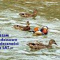 Jerzy, niech Ci w obfitości STO lat życia w szczęściu i zdrowiu płynie ... :)) #kaczki #krzyżówki #mandarynki #ptaki #urodziny #woda #życzenia