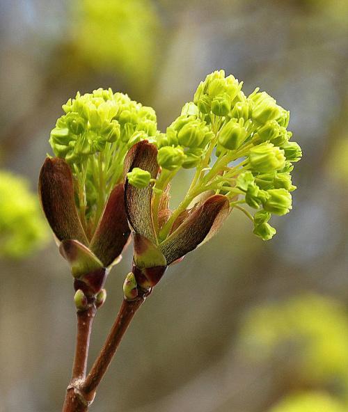 Klony pokryły się zielenią kwiatów :)