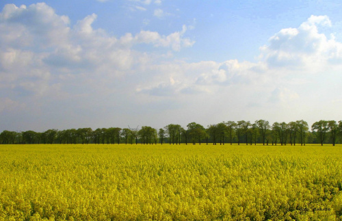 rzepakowe pole ... **** ulub. giga-grzmot; nupi **** #pola #rzepak #wiosna