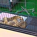 Z wizyta u tygrysów #azja #tajlandia #TigerKingdom #tygrys