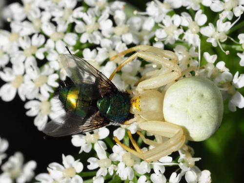 Niedzielny obiad pająka kwietnika