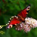 Mam go :) #motyl #RusałkaPawik