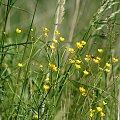 ... drobnica ... :) **** ulub. inka47 **** #kwiaty #łąka #ogród #przyroda #wiosna