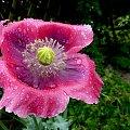 troszkę popadało :) **** ulub. gonzki **** #deszcz #krople #kwiaty #logród #przyroda
