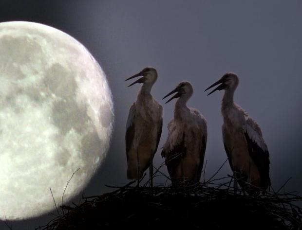 kiedy bocianom opadają dzioby #bociany #księżyc #ptaki