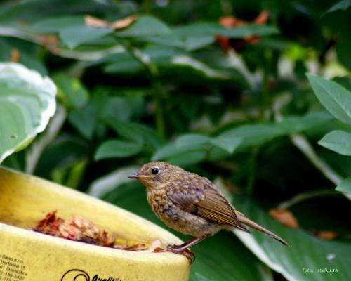 młody rudzik :) #lato #ogród #ptaki #rudzik