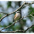 Wakacyjne spotkania z ptaszkami - gąsiorek #dzięcioł #gąsiorek #kraska #sikorka