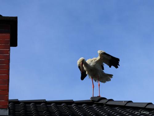 boćki przysiadły sobie na dachu domu, w którym mieszkamy - Sarbinowo, ul. Nadmorska #bociany #lato #ptaki #Sarbinowo