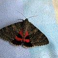 wstęgówka pąsówka (Catocala nupta) - zagościła w mieszkaniu mojej córy ... zdążyłam zrobić małą sesję :) #CatocalaNupta #ćmy #motyle #owady #WstęgówkaPąsówka