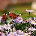 fruwające w ogródku ... **** ulub. videll **** #kwiaty #motyle #ogród #owady #pszczoły