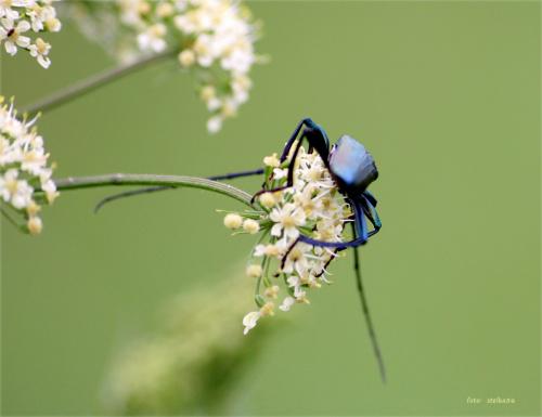 wonnica piżmówka (Aromia moschata) #AromiaMoschata #lato #łąka #owady #Sarbinowo #WonnicaPiżmówka #żuczki