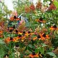 mój ogródkowy bałagan ... #jesień #kwiaty #ogród #owady #trawy #hortensje #rudbekie