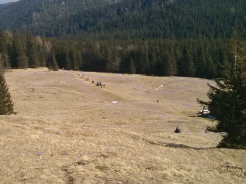 Krokusy na Kalatówkach #góry #Tatry #Zakopane