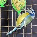 Modraszka na balkonie #Ptaki #Sikorki