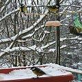 Grudniowa balkonowa stołówka #Bogatki #Ptaki #Sikorki