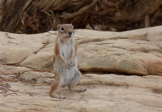 Wiewiórka ziemna -White-tailed Antelope Squirrel- przyszła po coś smacznego :))) Camping w Canyonlands