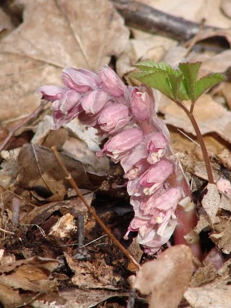 łuskiewnik różowyy