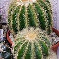 Notocactus warasii #kaktusy #rosa