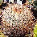 Notocactus schlosseri #kaktusy #rosa