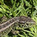 Mistrzyni mimikry - Jaszczurka zwinka (Lacerta agilis) #ogród #przyroda #zwierzęta
