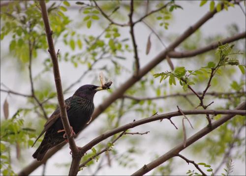 #Maj2015 #natura #przyroda #ptaki #szpaki #wiosna
