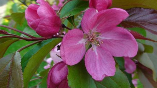 Kwiat jabłonki rajskiej