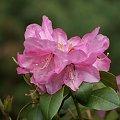#magnolie