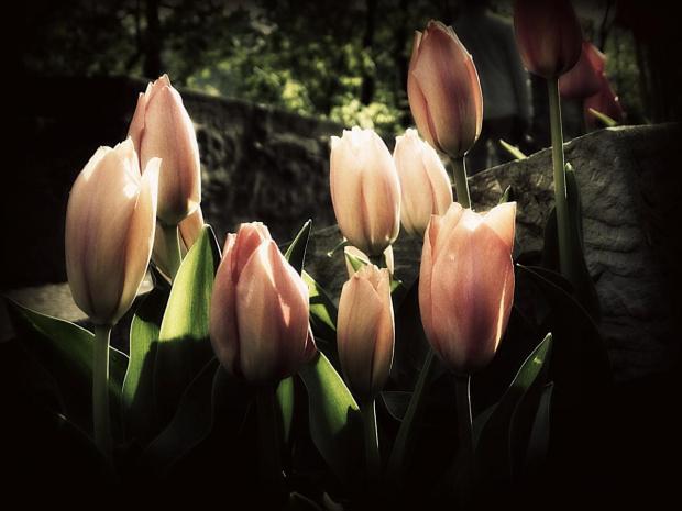 Zamek Książ w Wałbrzychu - tulipany w ogrodach tarasowych #ZamekKsiąż #Wałbrzych #Książ #DolnyŚląsk #KsiążańskiParkKrajobrazowy #tulipany