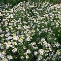 polne ... #kwiaty #łąki #maki #pola #rumianki #wiosna