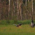 przy okazji tego zdjęcia pozwolę sobie przypomnieć ostatnią płytę moich ulubieńców: https://www.youtube.com/watch?v=Bn3HoGpTQdY #ptaki #żurawie