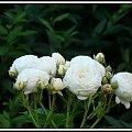 Artemis #róża