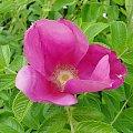 Pachnąca dzika róża #kwiatki
