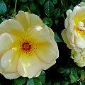 Róże #kwiatki