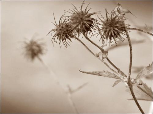 Kuklik Pospolity ;).. #roślinki