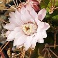 Gymnocalycium euryplerum #kaktusy