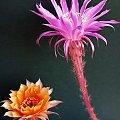 Echinopsis hybride #kaktusy