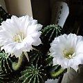 Echinopsis eyriesii #kaktusy