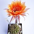 Echinopsis hybride 32-2005 #kaktusy