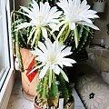 Echinopsis subdenudata #kaktusy